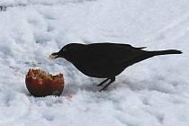 Zimní život ptáků. ilustrační foto
