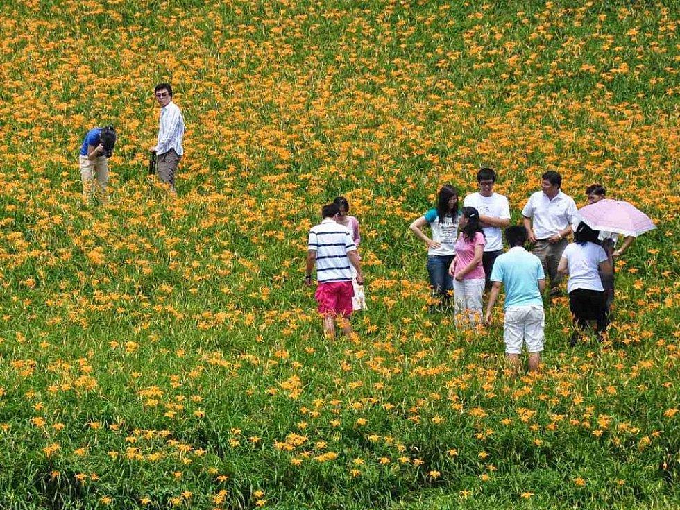 rozkvetlé liliové louky lákají mnoho taiwanských turistů