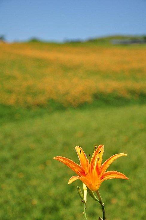 divoká lilie