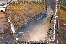 Od pondělí už si lidé z Blanska mohou koupit vánoční ryby.