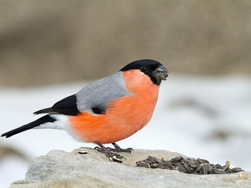 Hýl obecný. Ptáci pózují u krmítek. Ládují se slunečnicemi.