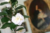 Zámecké skleníky v Rájci-Jestřebí jsou otevřené už od začátku února. Lákají na prohlídku kvetoucích kamélií. Ty v březnu tradičně ozdobily i reprezentační sály zámku v přízemí. Výstavu si prohlédlo několik tisíc lidí.