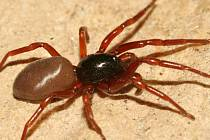 Nový druh pavouka šestiočka moravská. Ilustrační foto.