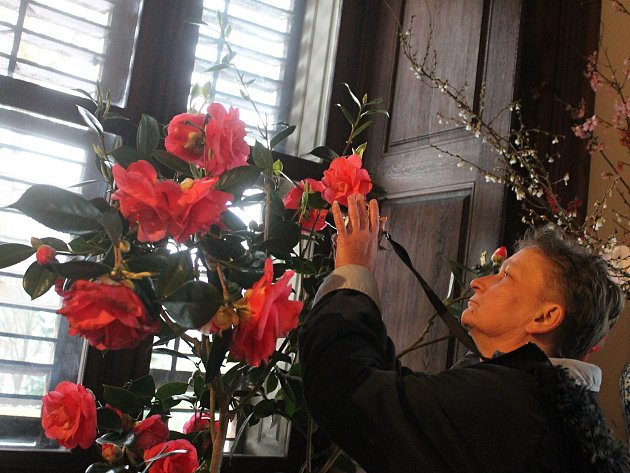 Rozkvetlé kamélie budou historické prostory na zámku v Rájci-Jestřebí zdobit do neděle.