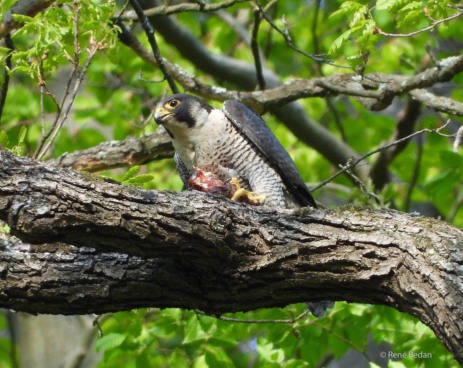 Sokoli stěhovaví hnízdí v Moravské krasu pravidelně už několik let. Na snímcích jsou dospělí draví ptáci z okolí Býčí skály.