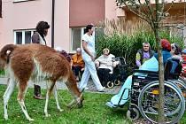 V Centru sociálních služeb města Letovice se připojili k akci Týden sociálních služeb v České republice. Letovičtí pořádali den otevřených dveří. Jako součást doprovodného programu byla na zahradě tamního domova pro seniory ukázka lamaterapie.