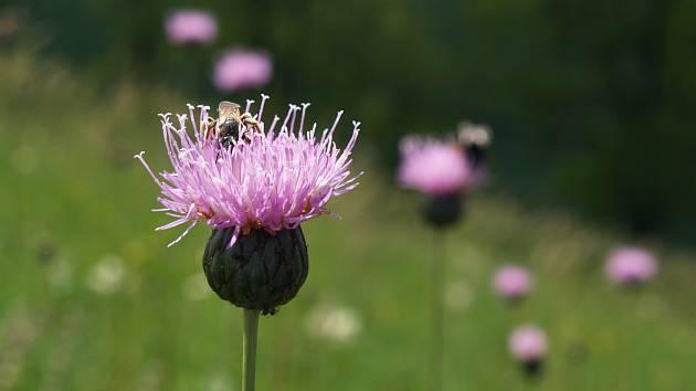 Srpice karbincolistá je jedním z nejvzácnějších druhů rostlin na Dunajovických kopcích.