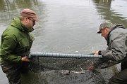 Vodohospodáři vysázeli do Dyje u Pohanska u Břeclavi prvních dvě stě padesát jeseterů malých. Další budou v blízké době následovat.