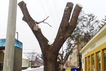Ořezaný strom v Kloboukách u Brna.