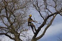 V lednickém parku prořezávali stromolezci v pondělí suché větve jerlínu japonskému. Strom je nejstarší svého druhu v České republice. Před zámkem roste už dvě stě let.