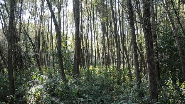 Lesníci spolu s vodohospodáři na Břeclavsku mají připravený projekt na umělé zaplavování lužních lesů v létě.