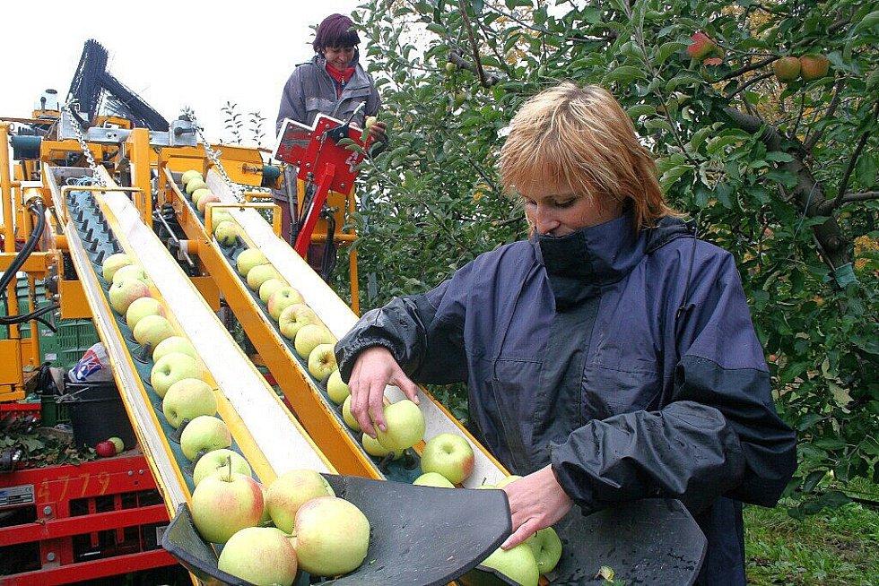 pěstování jablek