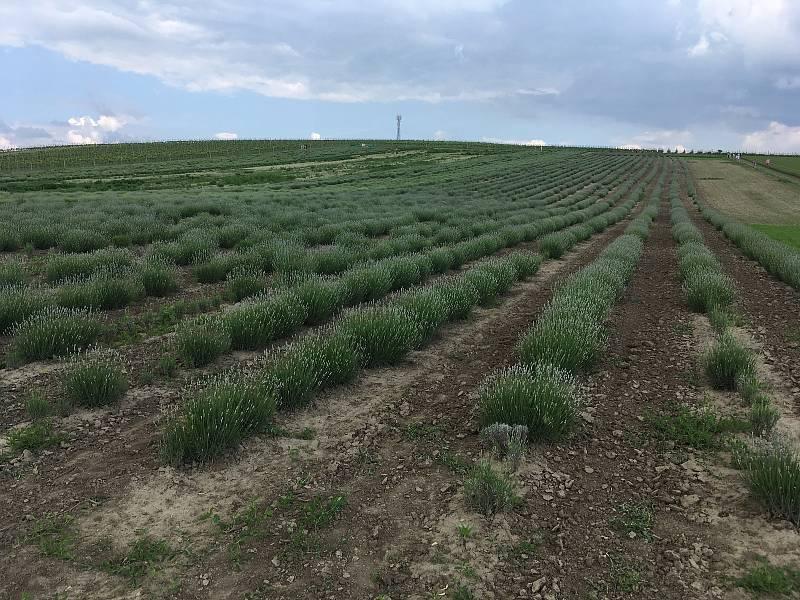 Levandulová farma ve Starovičkách na Břeclavsku.