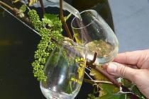 Víno teče proudem.