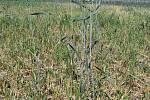 Hraboš polní páchá škody na ječmeni a ozimé pšenici také ve Velkých Pavlovicích na Břeclavsku.