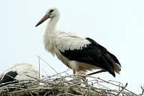 Čtyři čapí mláďata, která letos obývají hnízdo v Sedleci, se už chystají k letu.
