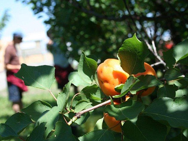 Patria Kobylí, největší producent meruněk v České republice, pěstuje oranžové plody na 180 hektarech.