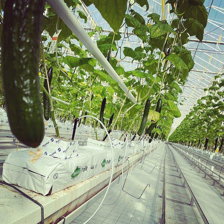 Namísto rajčat nyní pěstují ve sklenících u Velkých Němčic okurky.