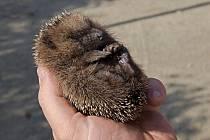 Malé ježky zachrání před zimou i hromádka listí