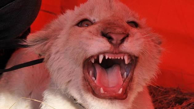 Čtyřměsíční mládě vzácného bílého lva sibiřského.