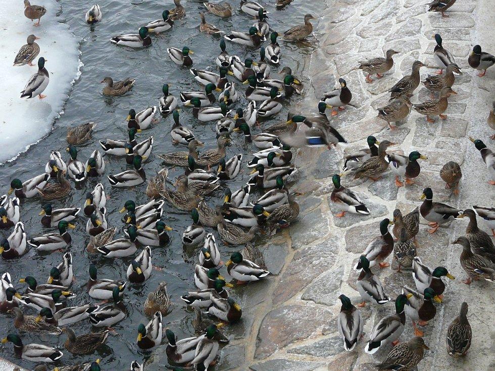 Nové Mlýny jsou zimovištěm pro tisíce vodních ptáků.