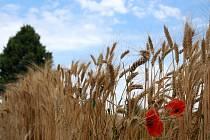 Obilná pole na Břeclavsku čekají na posečení. Žně už sice začaly, ale brzy je pozdržel déšť.