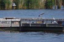 Dobrá zpráva. Ohrožených rybáků obecných je na střední nádrži Nových Mlýnů stále více.