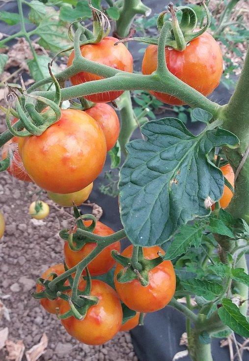 Rajčata v obřím skleníku u Velkých Němčic napadl virus ToBRFV.