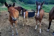Na hustopečském sportovním ranči Valkýra se letos narodila tři hříbata. Foto: se svolením Valkýry