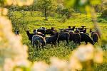Ovce na Dunajovických kopcích.