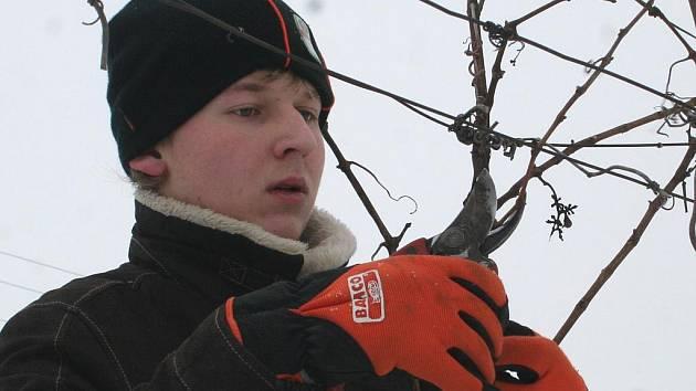 Do vinice ve Valticích vyrazili studenti valtické vinařské školy na tradiční řez révy.