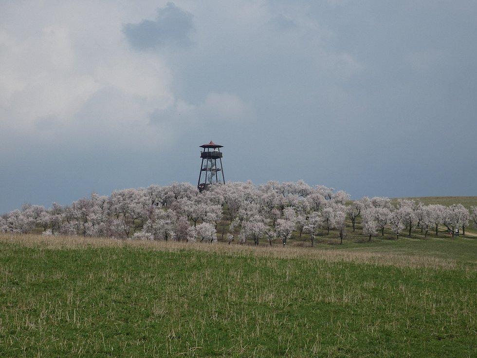 Procházka mandloňovým sadem v Hustopečích.