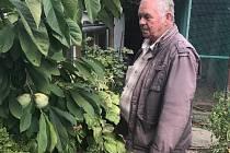 František Dvořák z Klentnice sklízí neobvyklou úrodu mandarinek i kaki. Letos poprvé i raritu indiánské banány pawpaw.