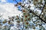 Z procházek rozkvetlými mandloňovými sady v Hustopečích.
