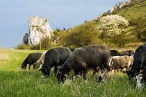 Na Stolové hoře se pásly ovce a kozy na volno.