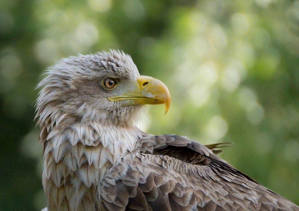 Orel mořský je největším dravcem vyskytujícím se v ČR a zároveň je největším evropským orlem.