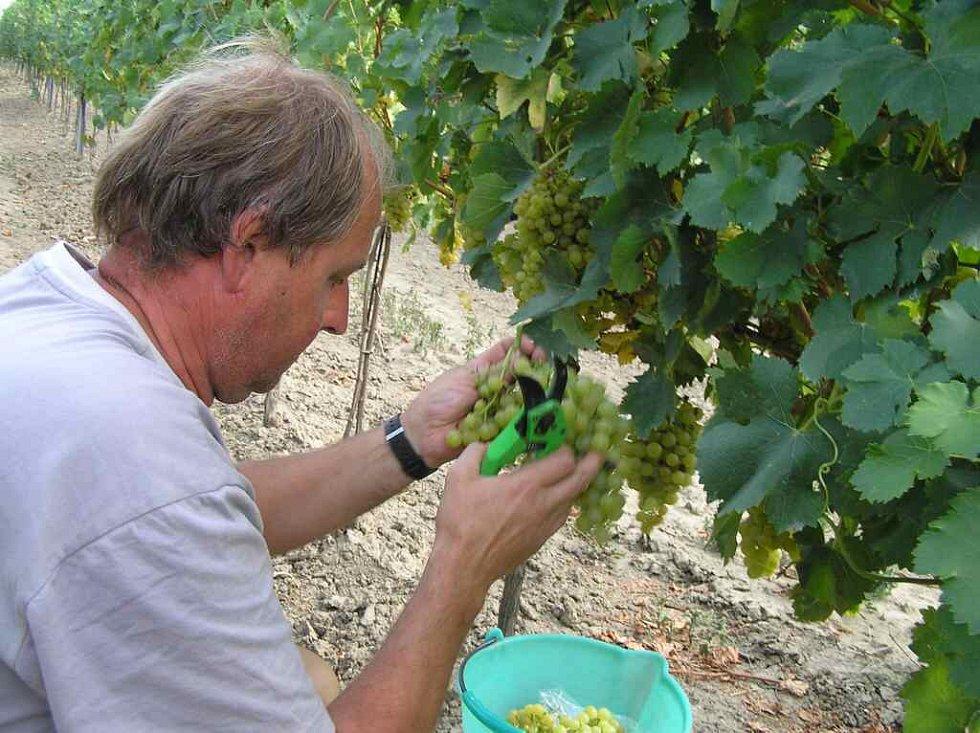 Sběr vína v Krumvíři