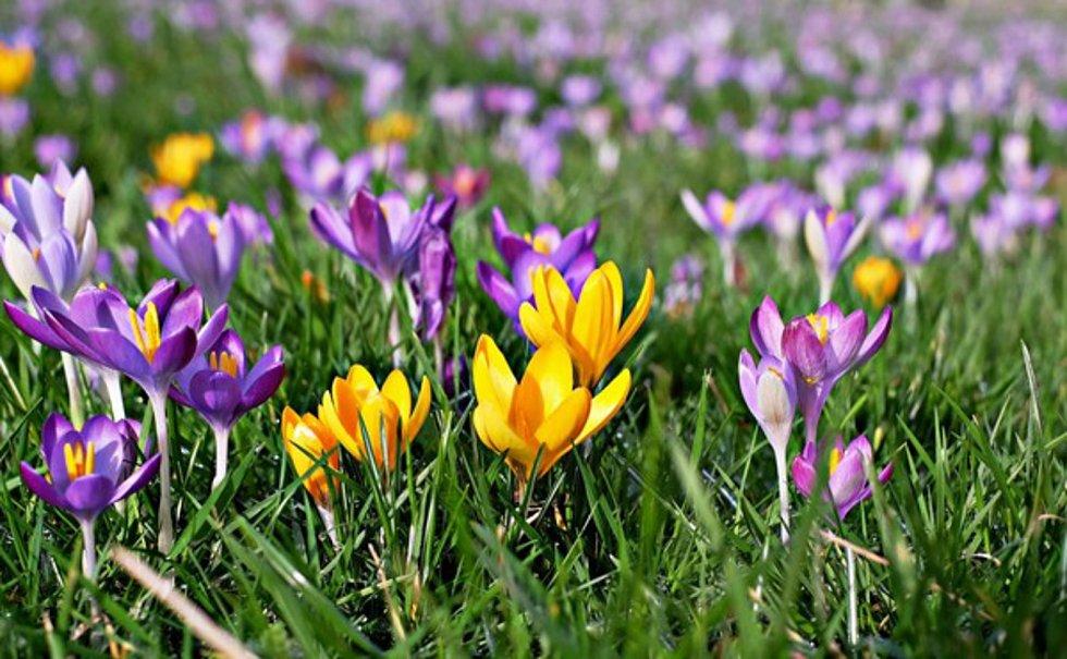 Desetitisíce krokusů sází dobrovolníci na zámecké louce ve Valticích. Na jaře ukážou květy obrys někdejšího hradu.