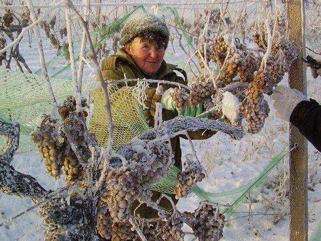 Sklizeň hroznů na ledové víno.