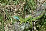 Ještěrka zelená.
