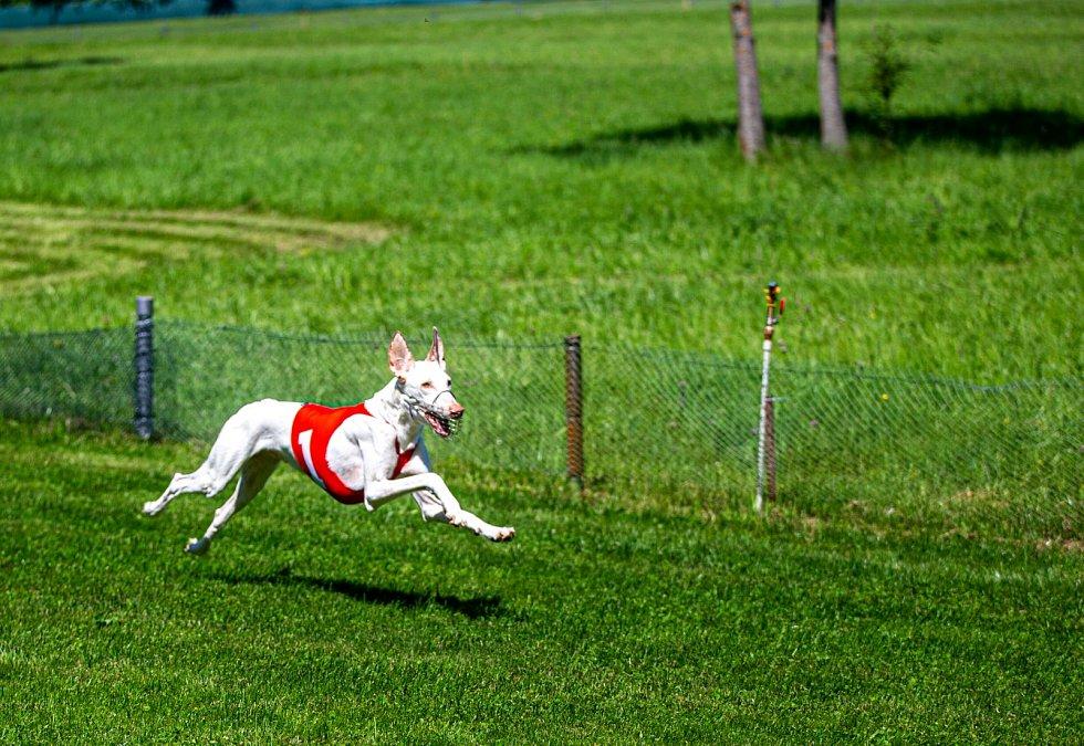 Na dostihové dráze v Lednici se konaly závody chrtů Lednický zajíc.