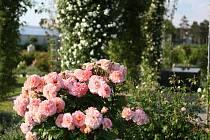 Rozárium Tematických zahrad, Austenovy růže. Snímek z června 2019. Foto: Daniela Plandorová