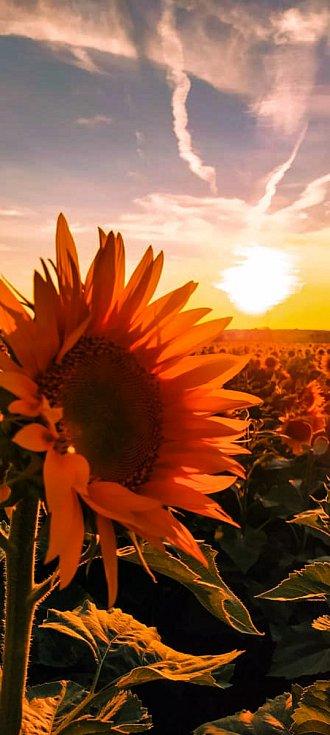 Vycházka do polí mezi Šakvicemi a Zaječím za slunečnicemi.