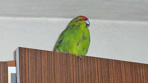 nalezený papoušek