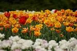 Tulipánová nádhera i letos zdobí zámecký park v Lednici na Břeclavsku.