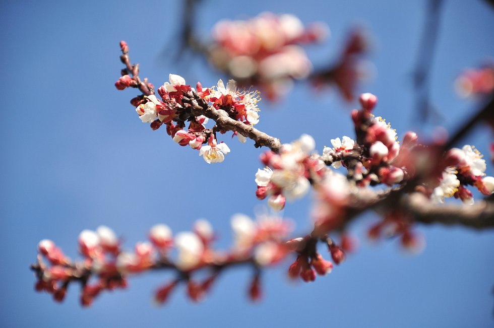 Mráz ze čtvrtka na pátek spálil úrodu meruněk. Teploty v sadech klesly pod mínus pět stupňů. Část květů přežila.