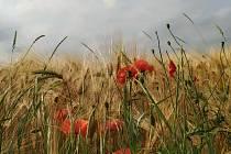 Letní vycházka do polí u Šakvic.