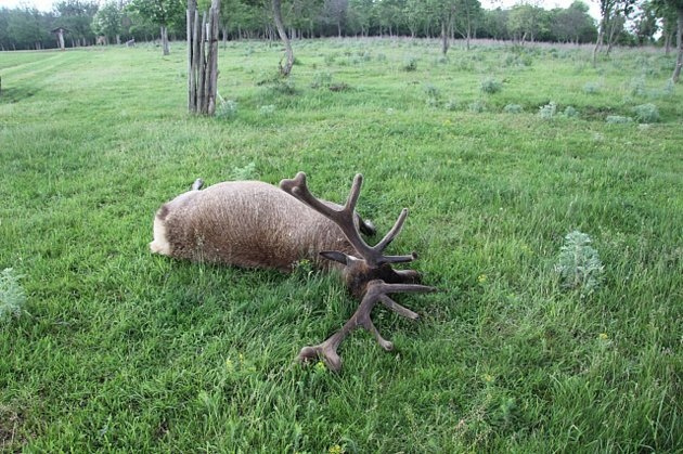 Výstřel za tři sta tisíc. Pytlák skolil vbulharské oboře trofejního jelena.