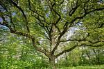 V anketě Strom roku obsadil loni lednický dub letní, zvaný Hugo, bronzovou příčku. Na Moravě nenašel přemožitele.