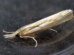 Vzácný slanomilný motýl travařík Pediasia aridella.